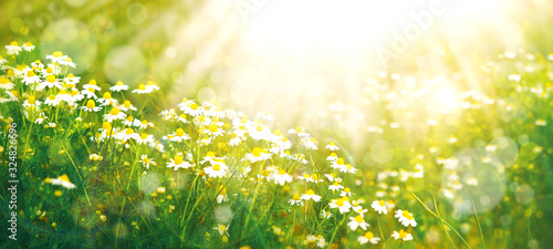 Fototapeta Meadow in spring and summer under the sun. Panorama in the form of daisies in the meadow. Wallpaper in soft light. Flowers in the form of daisies. There is space for text. obraz na płótnie
