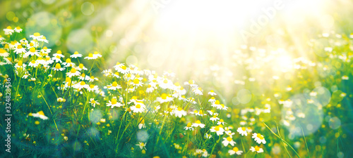 Fototapety, obrazy: Summer nature in the form of a meadow with daisies. Daisies in the summer under the sun. Wallpaper in the form of summer nature. Flowers in soft light and toning.