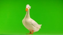 Duck Quack On A Green Screen
