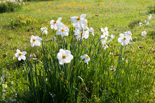 Obraz na plátně group of white narcissus poeticus flowers in the meadow