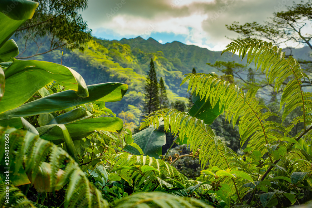 Fototapeta Focus on Green Ferns in Lush Tropical Rainforest With Mountains in the Background