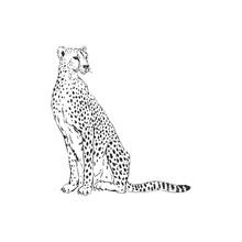 Leopard Hand Drawn Inky Sketch. African Wild Cat, Cheetah Black And White Illustration. Monochrome Jaguar Realistic Design Element
