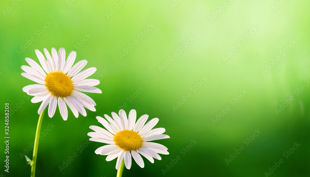 Fototapeta Summer Background with Daisies flowers