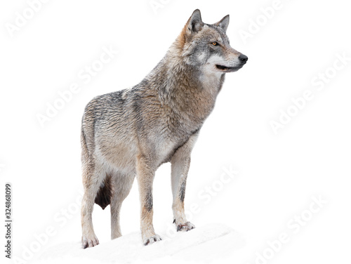 wolf standing in the snow isolated on a white Canvas Print