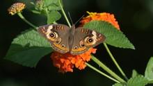 Common Buckeye Butterfly On An...