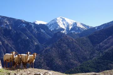 Moutons brebis agneau et montagne au soleil tour de goa