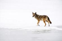 Coyote - Lake