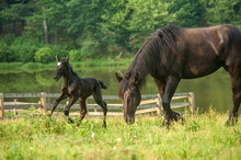 Percheron Draft Horse Mare With Young Foal In Pasture