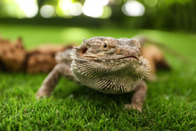 Bearded Lizard (Pogona Barbata...