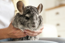 Woman Holding Cute Chinchilla In Room, Closeup