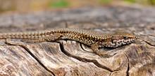 Wall Lizard - Mauereidechse (Podarcis Muralis Breviceps), Calabria, Italy - Kalabrien, Italien