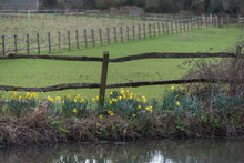 Daffodils In Blossom Along River Bank Spring Time