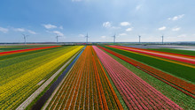 Aerial View Of Tulip Field With Wind Turbines In Background