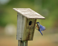 Bluebirds In The Midwest