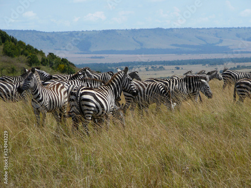 zebras in africa Canvas Print