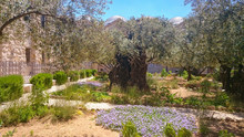 Gethsemane Gardens At The Foot Of The Mount Of Olives In Jerusalem