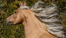 Palomino Morgan Stallion Runni...