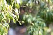 ํYoung green Lychee is very fresh sweet fruits, close up for texture and background. Small lychee fruit Growing on the tree. Lychee young, green leaf.