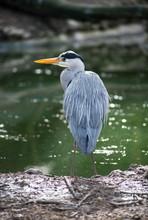 Portrait Of Heron Standing In Border Water