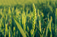 Close Up Of Barley Ear With Green Field On The Background