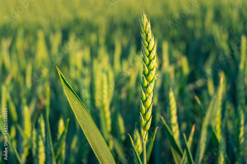 Close up of barley ear with green field on the background Poster Mural XXL