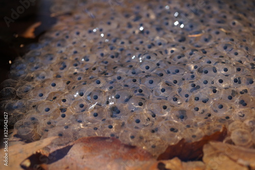 Frog spawn in pond in spring; (Anura) Wallpaper Mural