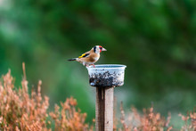 European Goldfinch Male (Cardu...