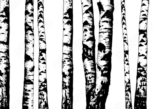 Photo .Birch trees. Vector background. Hand drawn vector illustration in sketch style.