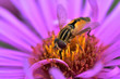 canvas print picture - Hoverfly (eupeodes luniger) with big eyes feeding on a beautiful purple flower