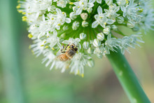Honey Bee On White Onion Flowe...
