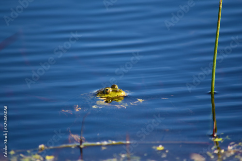Photo Common frog (Rana temporaria) in water with head out