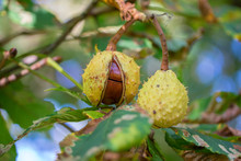 Opened Horse Chestnut (Aesculu...