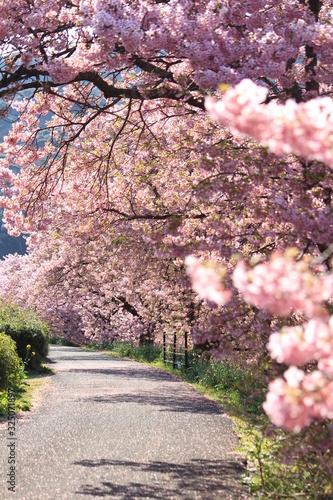 南伊豆 みなみの桜と菜の花まつり Wallpaper Mural