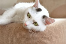 Close-up Of The Muzzle Of A White Domestic Cat Lying On The Sofa. Soft Fluffy Charming Shorthair Cat With Green Eyes. Copy Space For Text.