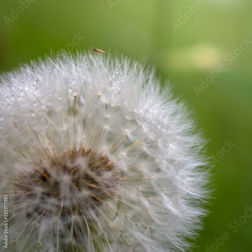 Fototapety, obrazy: A closeup of a dandelion with water drops and a bug on the top