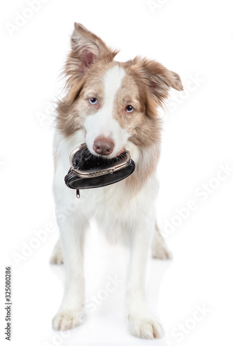 Fototapety, obrazy: Border collie dog holds retro wallet in it mouth. isolated on white background
