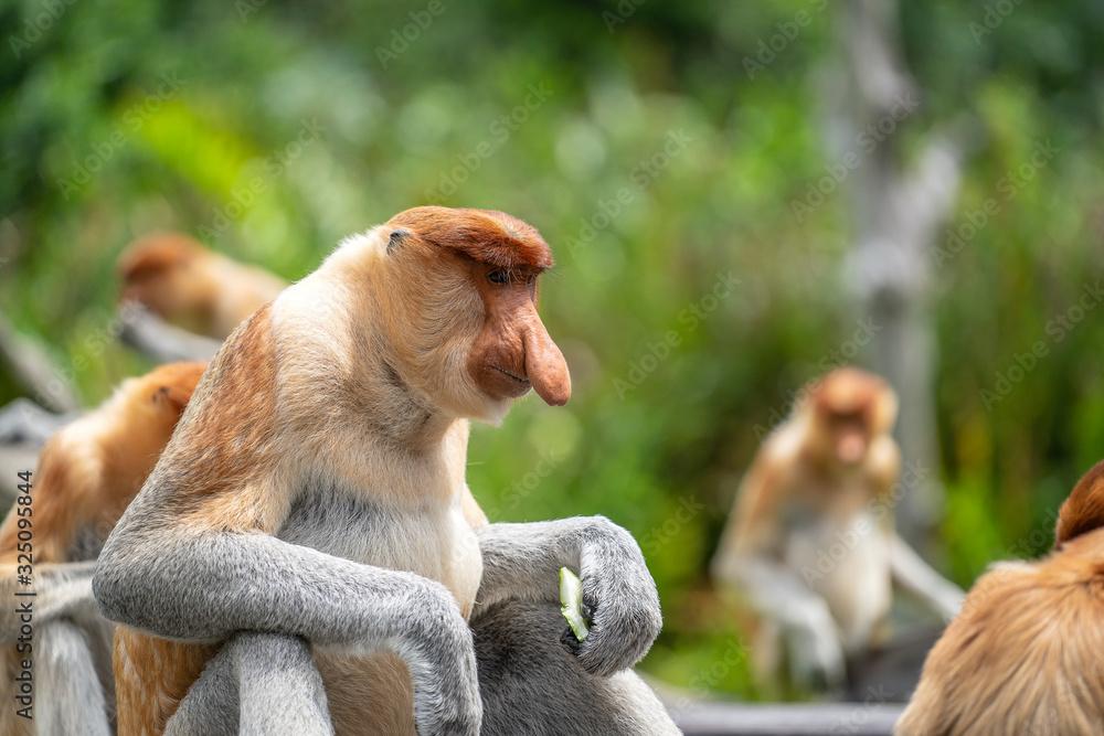 Fototapeta Wild Proboscis monkey or Nasalis larvatus, in rainforest of Borneo, Malaysia