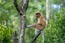 Wild Proboscis Monkey Or Nasal...