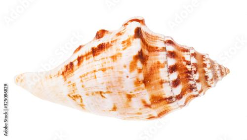 Billede på lærred conch of sea mollusk isolated on white