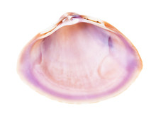 Empty Pink Violet Conch Of Cla...