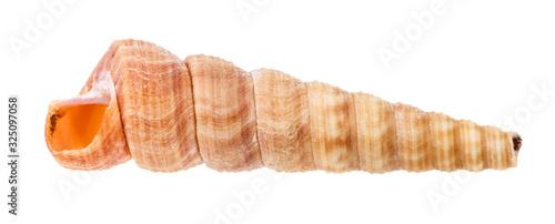 Obraz na płótnie empty shell of turritella mollusk isolated