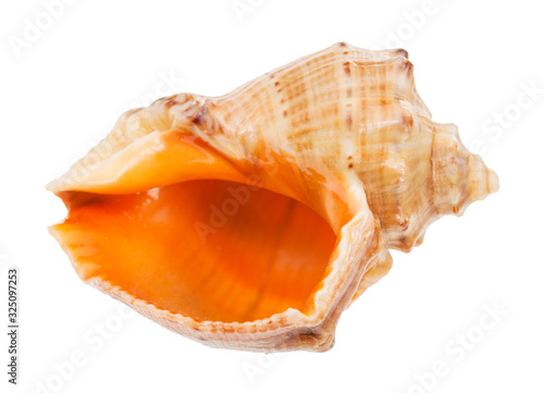 Photo empty conch of rapana isolated on white