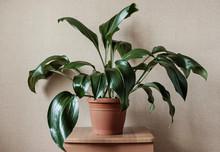 Ornamental Leafy Green Eucharis Plant