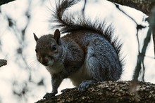 Closeup On A Gray Squirrel In ...