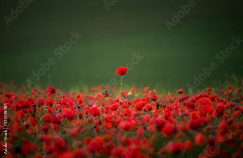 sunset over poppy field - 325109488