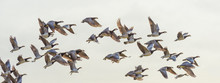 Flock Of Geese Flying In Forma...