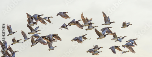 Obraz Flock of geese flying in formation in winter in a natural park - fototapety do salonu
