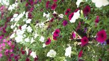 Color Of Nature Blooming Petunia Flower With Open Buds In Garden. Petunia Is Genus Of 20 Species Of Flowering Plants Of South American Origin, Red-flowered, Hummingbird-pollinated Species