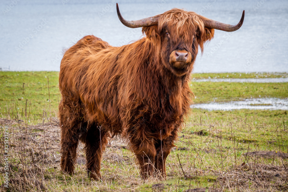 Fototapeta Scottish highlander a beautiful brown wild cow with huge horns in the swampy grass near the rainy river IJssel in the nature reserve near Fortmond, the Netherlands