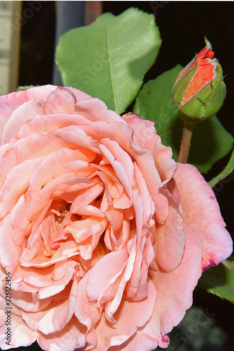 Fototapety, obrazy: Pink-colored Rose Blossom with Water Drops on the Petals - Beautiful Garden